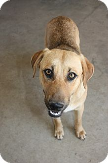 Labrador Retriever Mix Dog for adption in Stilwell, Oklahoma - Connie