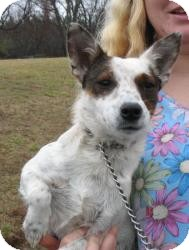 Jack Russell Terrier Mix Dog for Sale in Richmond, Virginia - Lola