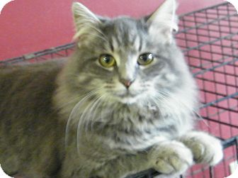 Maine Coon Cat for Sale in cumberland, Rhode Island - Bonnie Blu