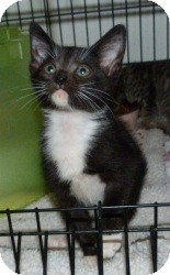 Domestic Shorthair Kitten for Sale in Stafford, Virginia - Toby