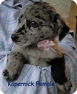 Australian Shepherd/Labrador Retriever Mix Puppy for Sale in Danbury, Connecticut - Kapernick ADOPTION PENDING