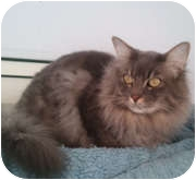 Domestic Longhair Cat for Sale in Anchorage, Alaska - Ceasar