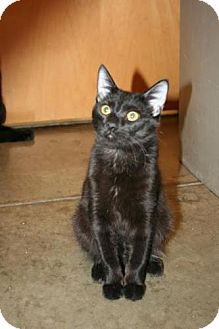 Bombay Kitten for Sale in Scottsdale, Arizona - Twister- Courtesy Post