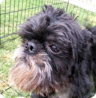 Brussels Griffon Dog for adption in Mesa, Arizona - TAD - in Quartzsite, AZ.