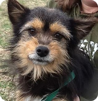 Yorkie, Yorkshire Terrier Mix Dog for Sale in Harrisonburg, Virginia - Radar (reduced $350)