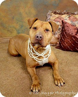 American Pit Bull Terrier Mix Dog for adption in Ann Arbor, Michigan - Courage