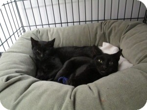 Domestic Shorthair Kitten for Sale in Oceanside, New York - Lia & Lena