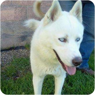 Husky Dog for Sale in Corona, California - Dierk