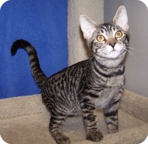 Domestic Shorthair Cat for Sale in Colorado Springs, Colorado - K-Hart5-Nelson
