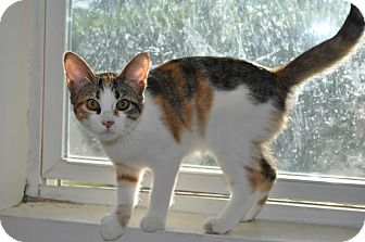 Calico Kitten for adoption in Speonk, New York - Brindle