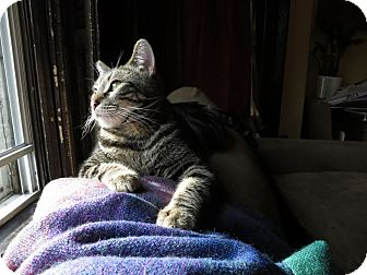 American Shorthair Cat for Sale in Brooklyn, New York - Leo