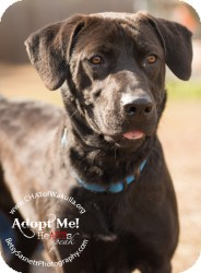 Labrador Retriever Mix Dog for adption in Crawfordville, Florida - Suzie