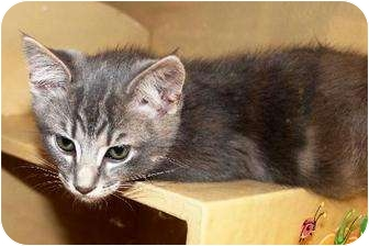 Domestic Shorthair Kitten for adoption in Smyrna, Tennessee - Bailey