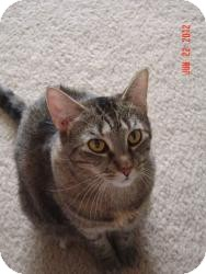 Domestic Shorthair Cat for adoption in Medford, New Jersey - Tippy