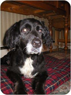 Spaniel (Unknown Type) Mix Dog for adption in New York, New York - Buddy