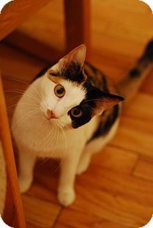 Domestic Shorthair Cat for Sale in Chicago, Illinois - Elphie