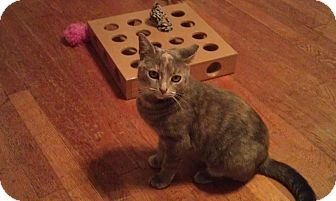 Domestic Shorthair Cat for Sale in Cleveland, Ohio - Olivia