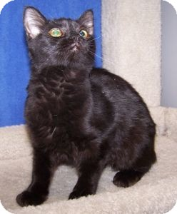Domestic Mediumhair Cat for Sale in Colorado Springs, Colorado - K-Quail7-Stella