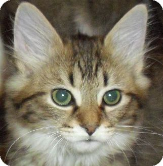 Domestic Longhair Kitten for Sale in Fairborn, Ohio - Charlamayne-Lexington Litter