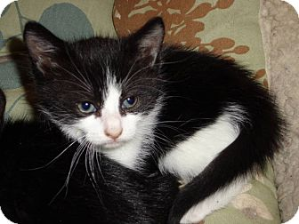 Domestic Shorthair Kitten for adoption in New York, New York - Palin
