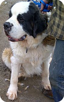 St. Bernard Dog for Sale in Emsdale (Huntsville), Ontario - Roxi - Big and Beautiful!