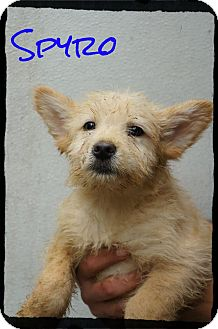 Terrier (Unknown Type, Medium) Mix Puppy for Sale in shelton, Connecticut - Spyro