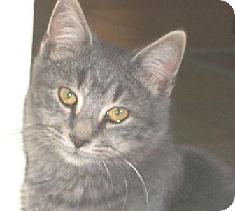 Domestic Shorthair Cat for adoption in Watsontown, Pennsylvania - Stormy (polydactyl)