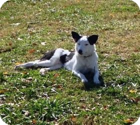 Border Collie Mix Dog for Sale in Russellville, Kentucky - Sophie
