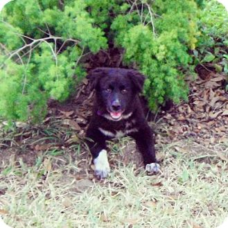 Border Collie Mix Dog for Sale in Houston, Texas - Gypsy
