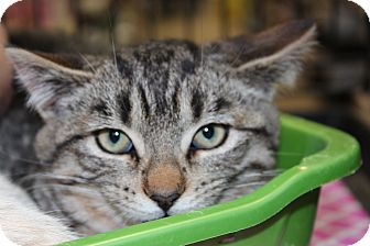 Domestic Shorthair Kitten for Sale in santa monica, California - Liam