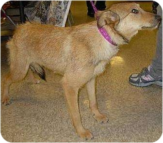 Wirehaired Fox Terrier/Shepherd (Unknown Type) Mix Dog for adption in Lucerne Valley, California - 3 young adult dogs