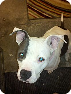 American Pit Bull Terrier Mix Dog for adption in Las Vegas, Nevada - Maya