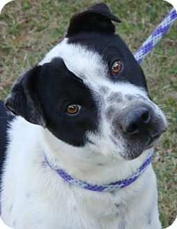 Australian Cattle Dog/Border Collie Mix Dog for Sale in Red Bluff, California - Topper