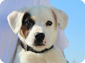 Jack Russell Terrier/Terrier (Unknown Type, Medium) Mix Puppy for Sale in Spring Valley, New York - Opie