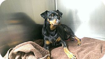 Miniature Pinscher Dog for adption in bridgeport, Connecticut - Napoleon