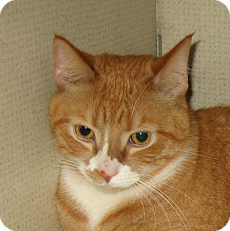 Domestic Shorthair Cat for Sale in Hamilton, New Jersey - SHELDON -2013