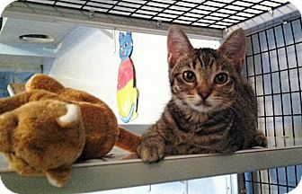 Domestic Shorthair Kitten for Sale in Deerfield Beach, Florida - Clarice