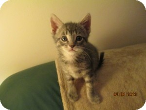 Domestic Shorthair Kitten for Sale in Oceanside, New York - Jackson