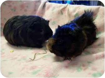 Guinea Pig for Sale in Lewisville, Texas - Mowlgi