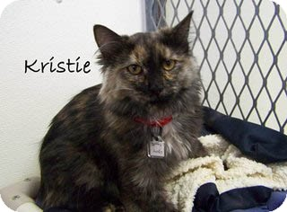 Domestic Mediumhair Kitten for Sale in Hamilton, Montana - Kristie