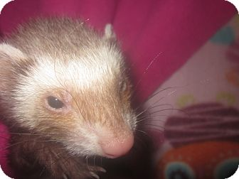 Ferret for adoption in Toledo, Ohio - Honey Bear