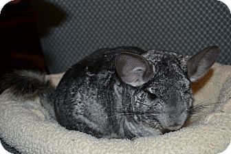 Chinchilla for Sale in Selden, New York - Zoey