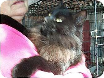 Domestic Longhair Cat for adoption in Perkins, Oklahoma - PENNY