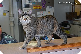 Domestic Shorthair Cat for adoption in Lincoln, Nebraska - Roo