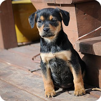 Hound (Unknown Type)/Terrier (Unknown Type, Medium) Mix Puppy for Sale in Mt. Prospect, Illinois - McKinley