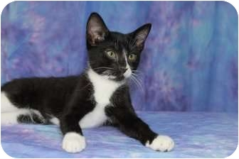 Domestic Shorthair Cat for adoption in Oxford, New York - Sami