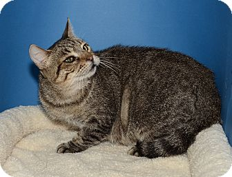 American Shorthair Cat for Sale in Ranch Palos Verdes, California - Whisper