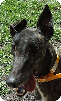Greyhound Dog for adption in Longwood, Florida - Hi Puff
