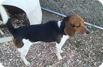 Beagle/Foxhound Mix Dog for Sale in Indian Trail, North Carolina - Jake
