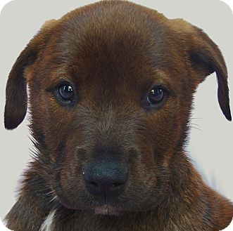 Labrador Retriever Mix Puppy for Sale in Thousand Oaks, California - Cupid